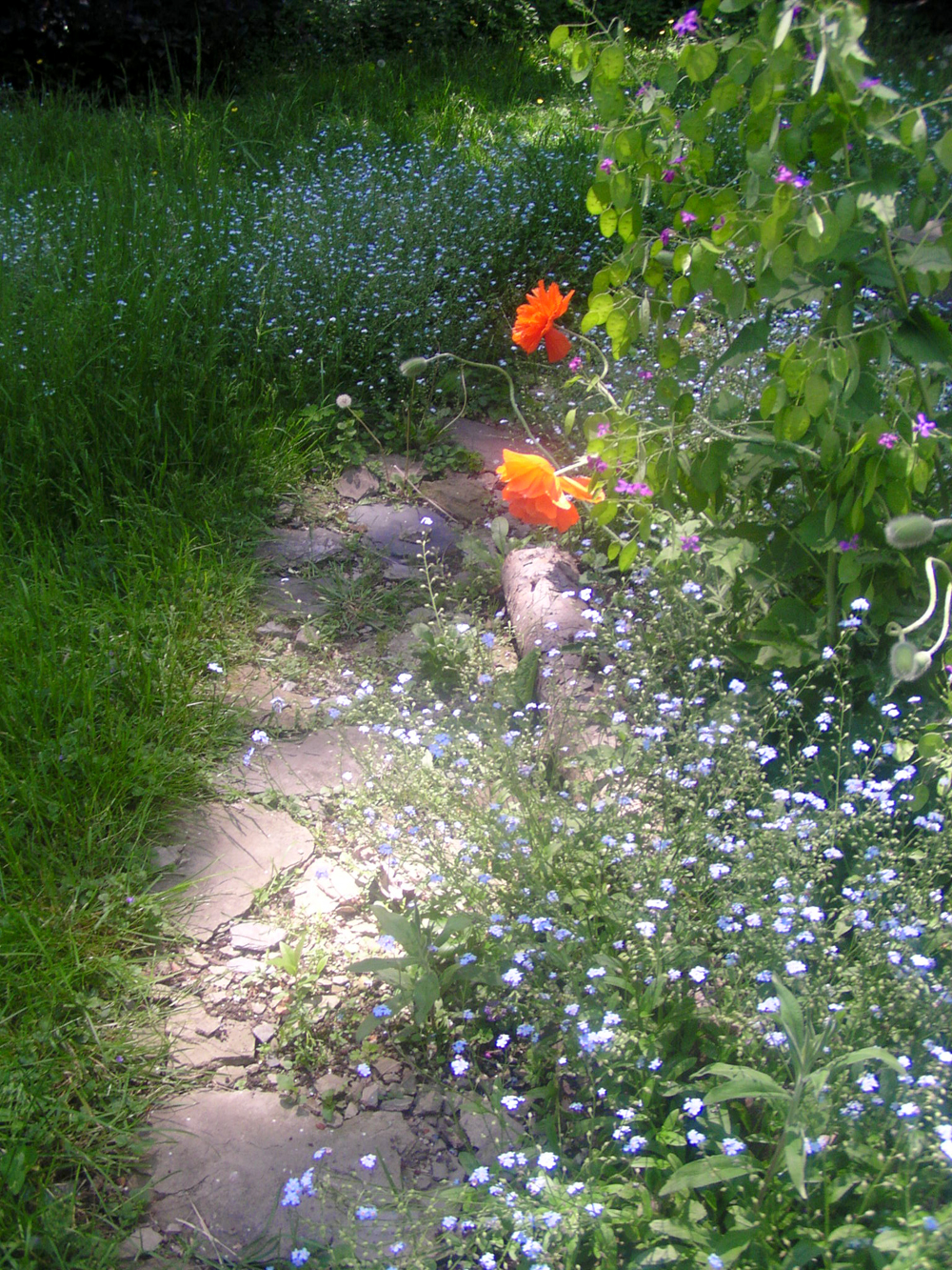 My garden path with the bright orange field poppies and forget-me-nots.