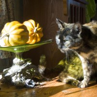 tortoiseshell cat with squashes