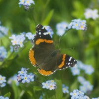 butterfly in forget-me-nots