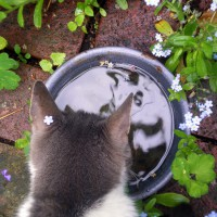 gray and white cat looking into water