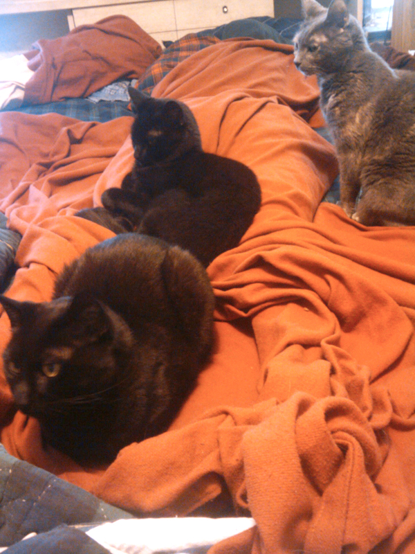 two black cats and dilute tortie