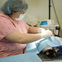 cat being spayed