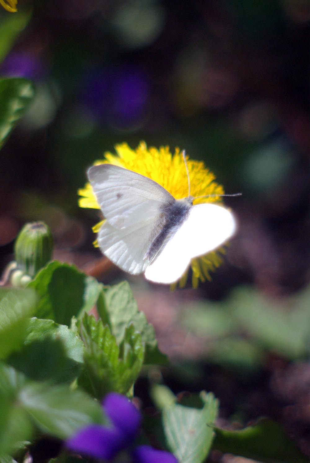 """""""The First Butterfly"""", a cabbage white butterfly, welcome in spring to visit the dandelions and violets"""