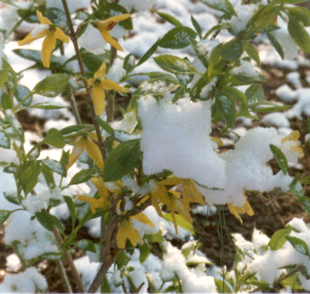 forsythia with snow
