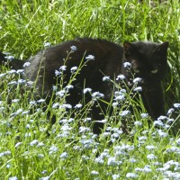 black cat in forget-me-nots