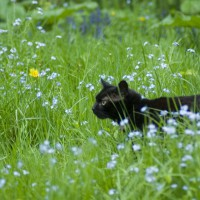 black cat walking through grass