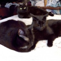 five black cats on bed
