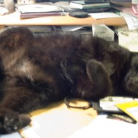 black cat on back on desk.