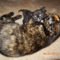 tortie cat with burned kitten