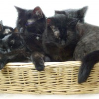 five black cats in a basket