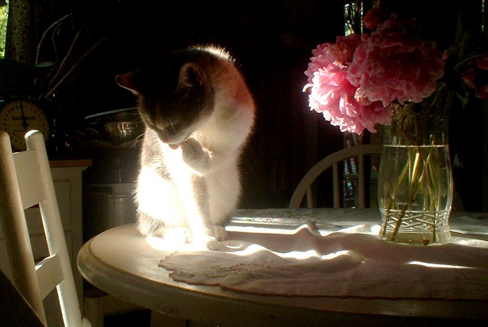 photo of cat on table with peonies
