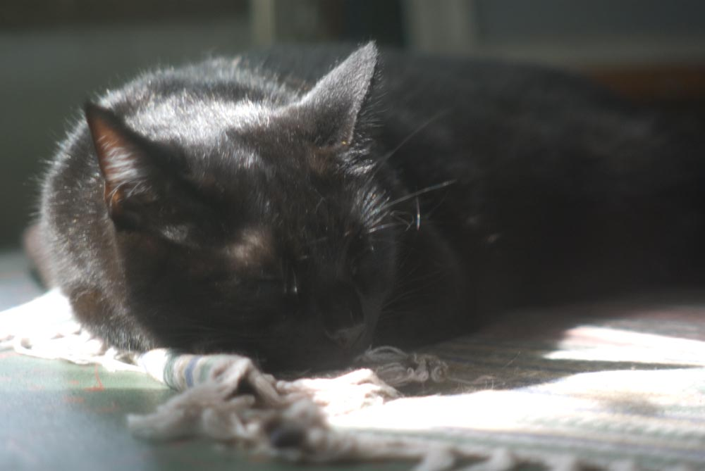 black cat dozing by window