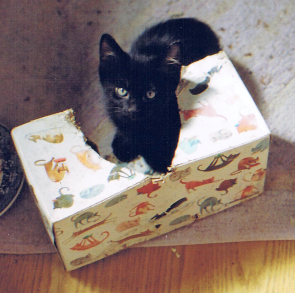 black kitten in kleenex box