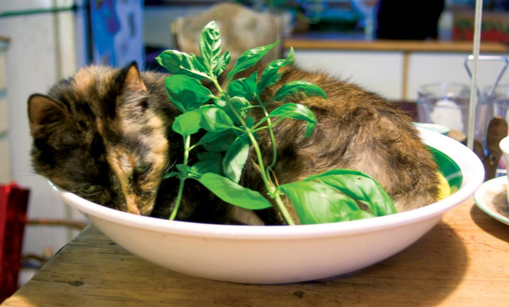 tortoiseshell cat in pasta bowl