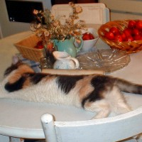 dilute calico cat on table