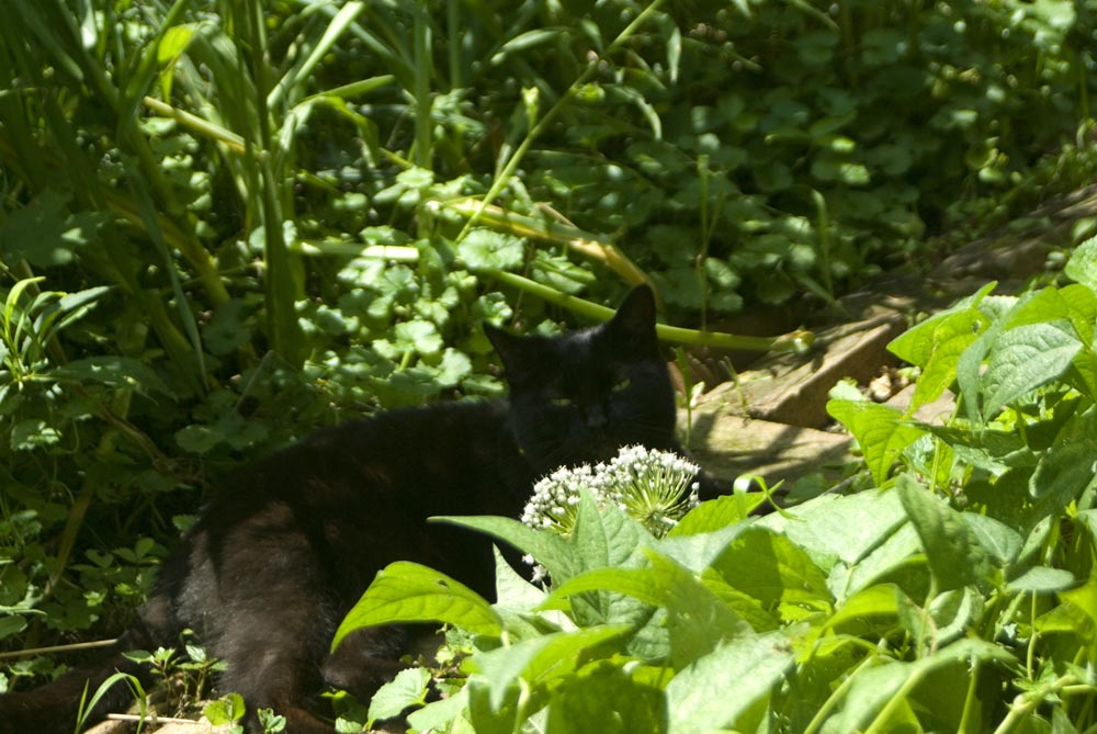 black cat in garden