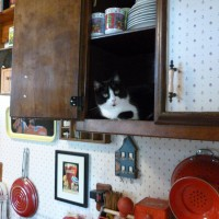 black and white cat in cabinet