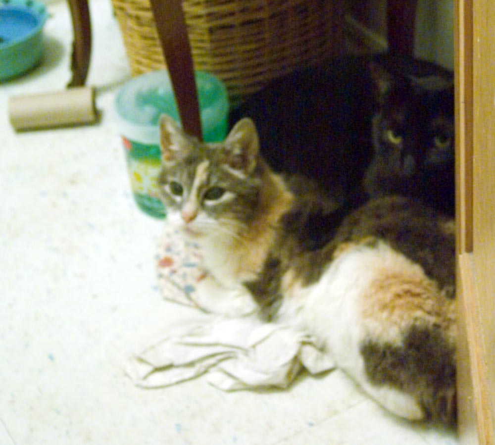 calico and black cat