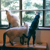 three cats looking out window