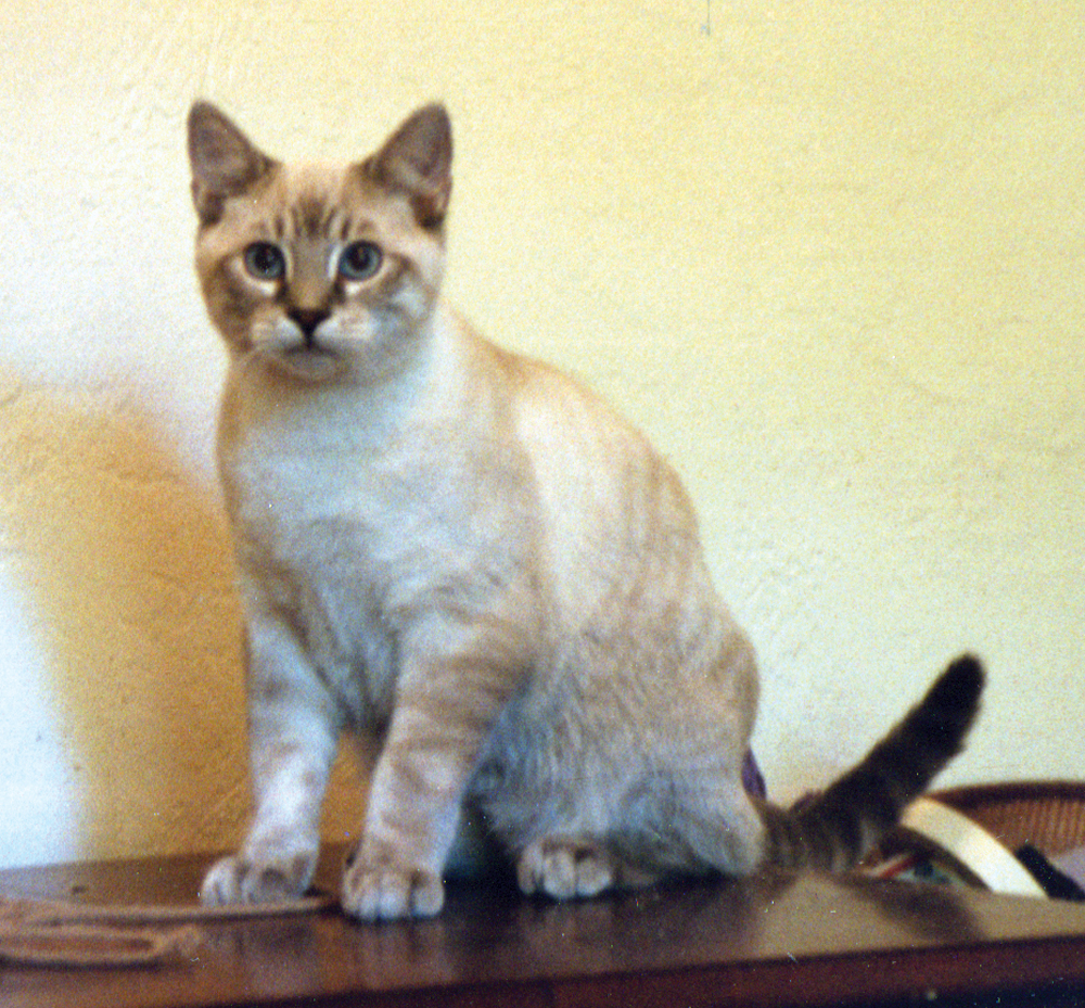 tonkinese mix cat