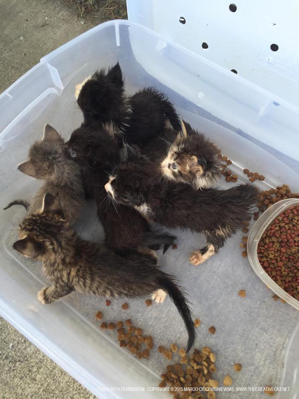 Kittens rescued from the hoarding situation.