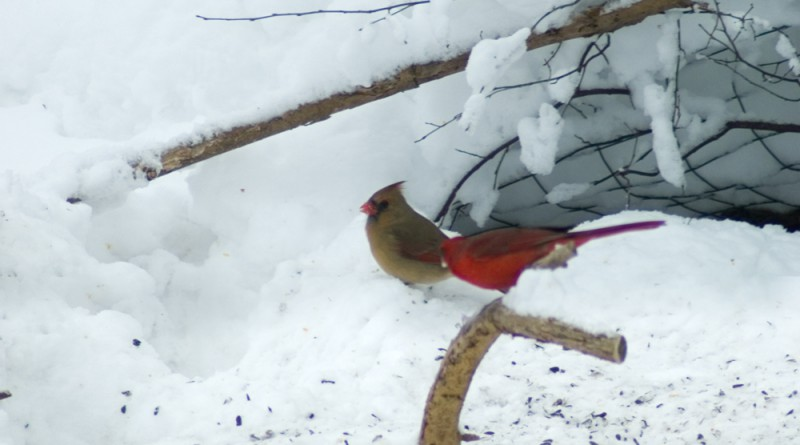 Two cardinals on Valentine's Day.