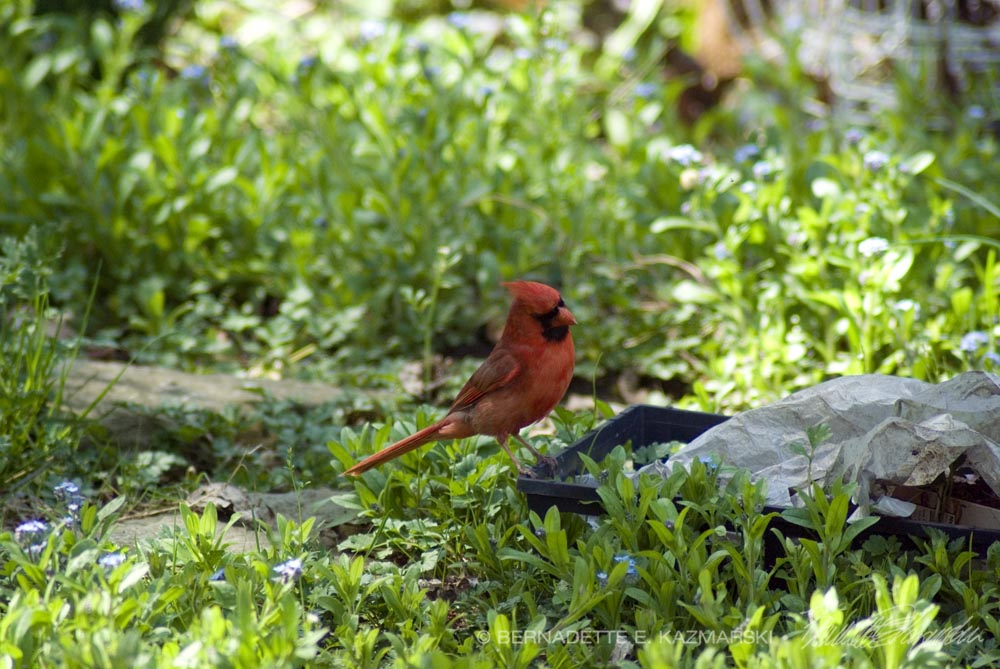 Cardinal hunting for insects in last year's planters.