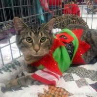 tabby cat with costume