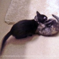 two kittens wrestling