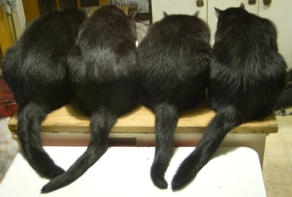 four black cats from behind