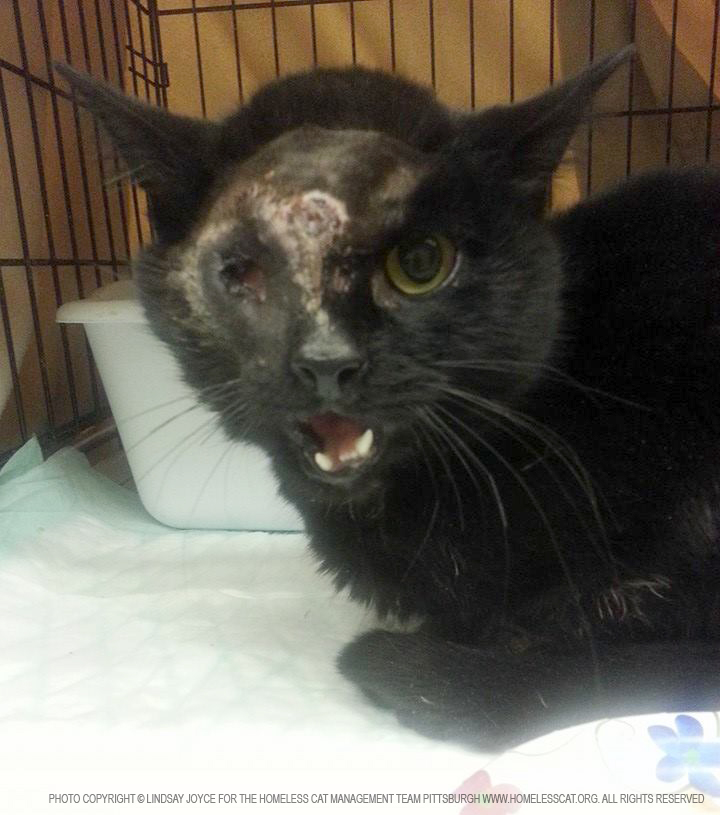 black cat with facial injuries.