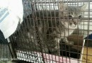 Alley Cat Rescue Survey Shows Trap-Neuter-Return Successful in Managing Feral Cat Population