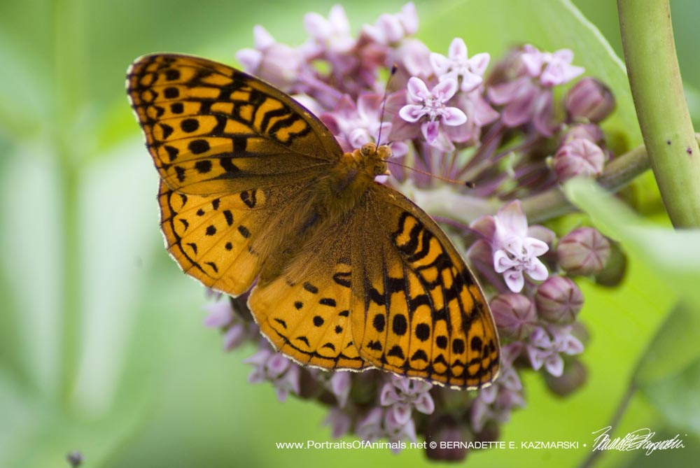 Great spangled fritillary seen along the trail.