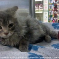 long-haired gray kitten