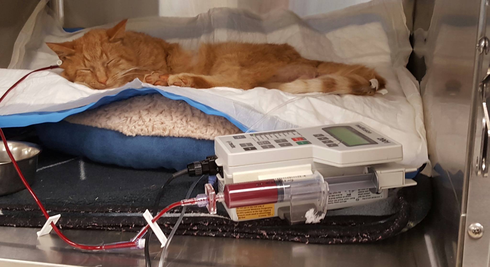 Getting his blood transfusion.