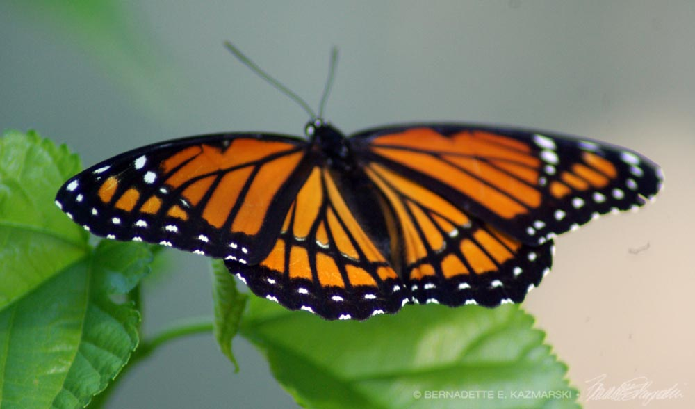 The migrating monarch.