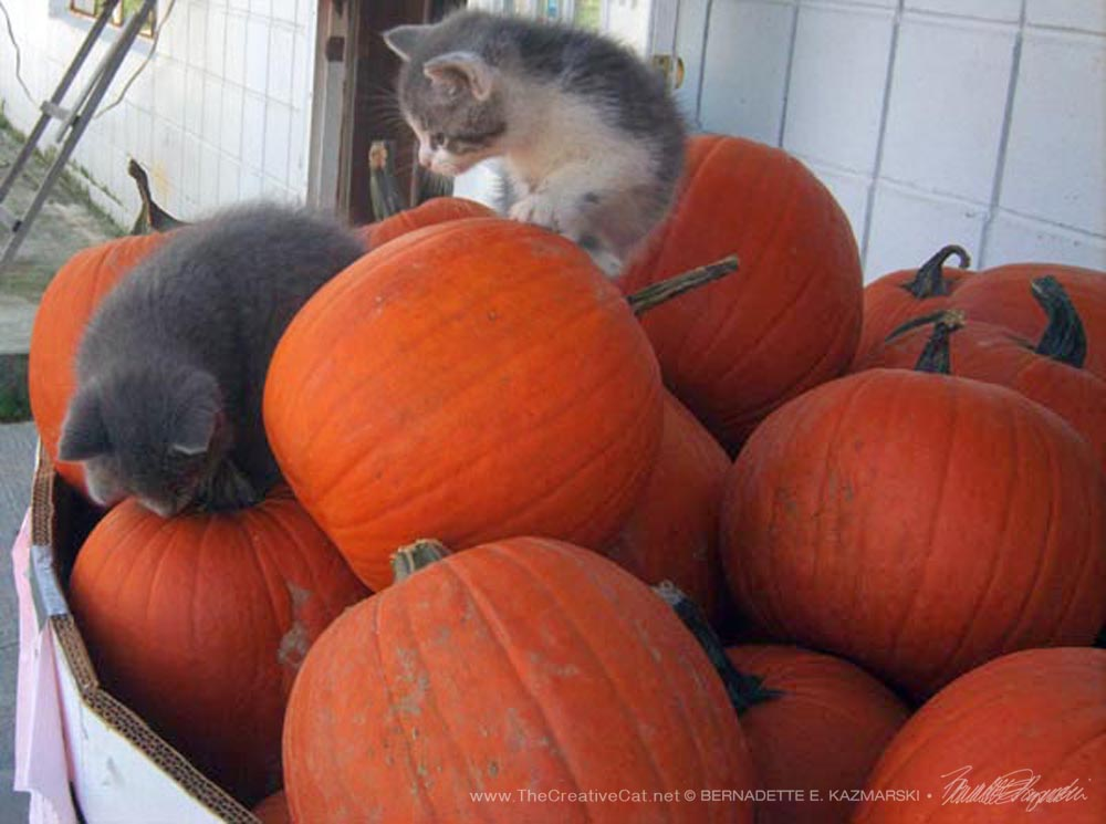 Kittens at the Agway explore the pumpkins.
