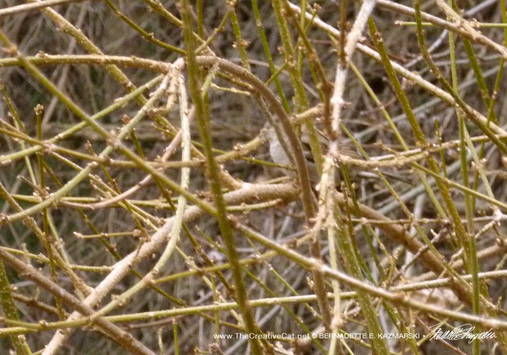 The song sparrow in the forsythia (it really did sing as Cookie and I sat there).