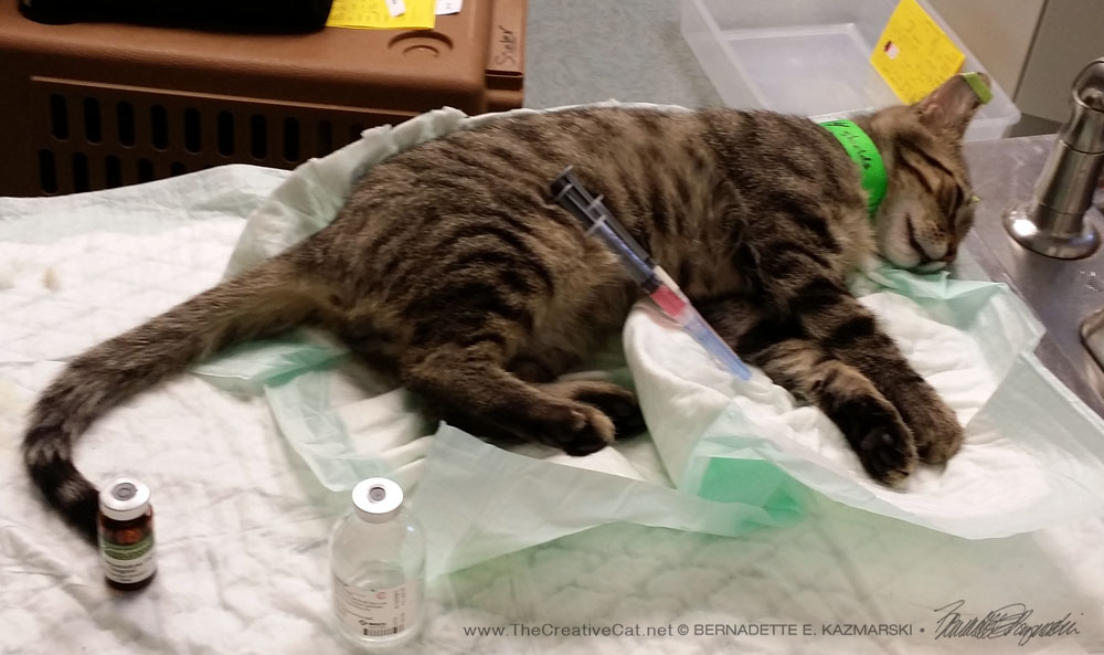 A young cat in surgery prep for his neutering--the green collar indicates he is a pet, not a feral cat, and the green tape on his ears remind the staff that he is not to be ear-tipped.