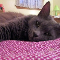 long-haired gray cat