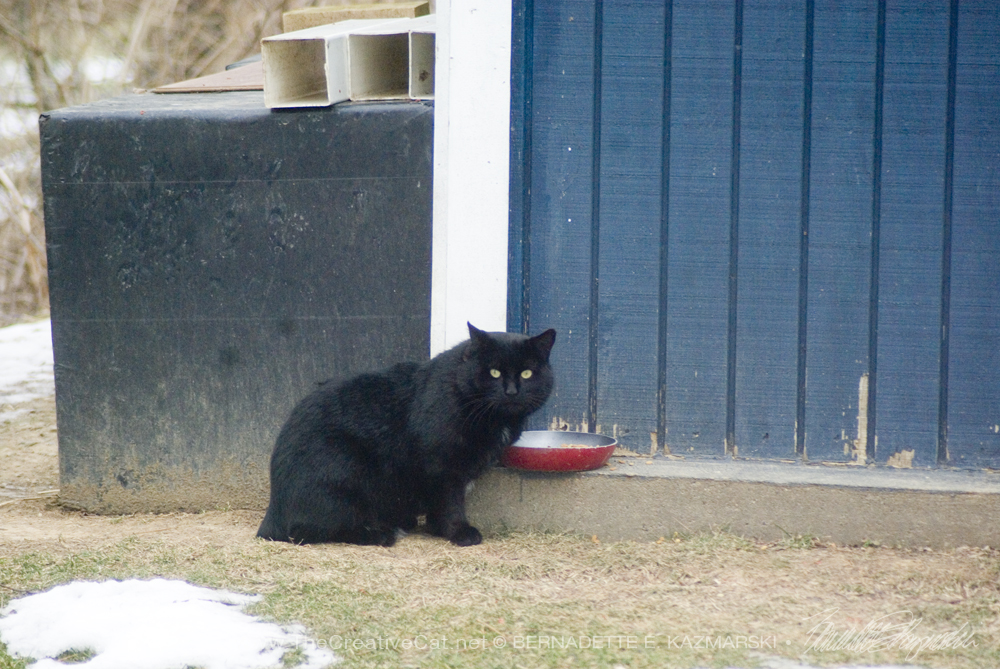 black cat eating outdoors