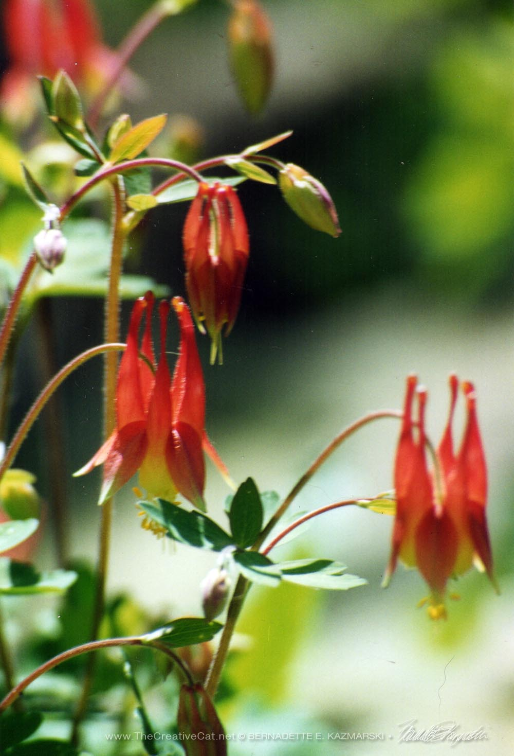 Native wild columbines, trying to capture their buoyant blooming habit.