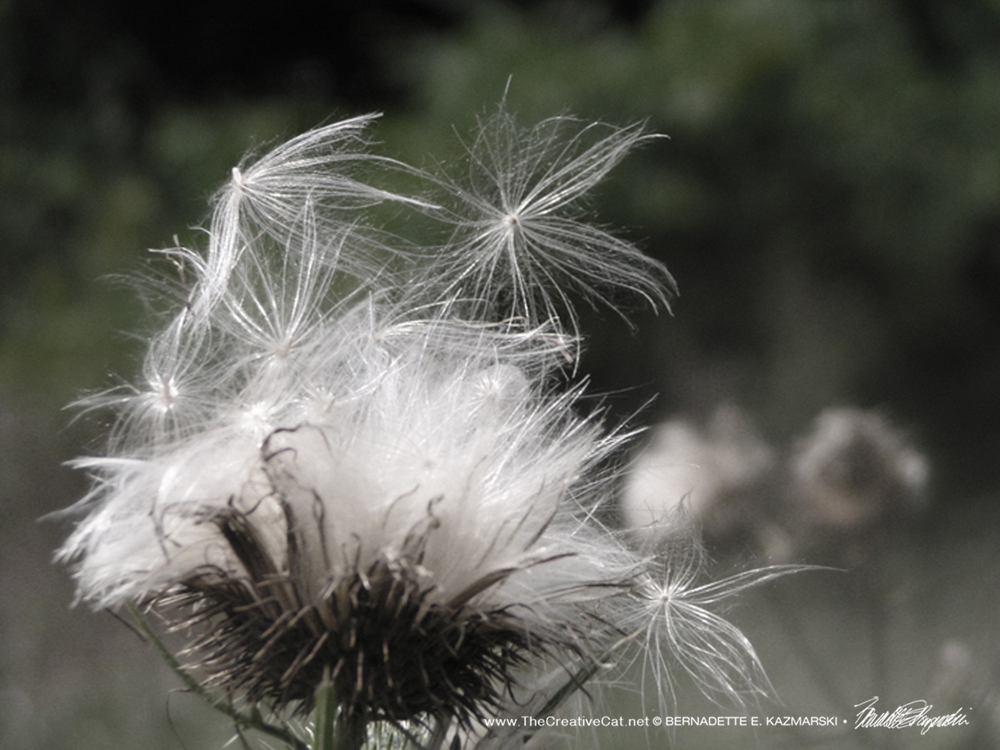 """Let Go"", a photo of thistledown floating off in the wind."