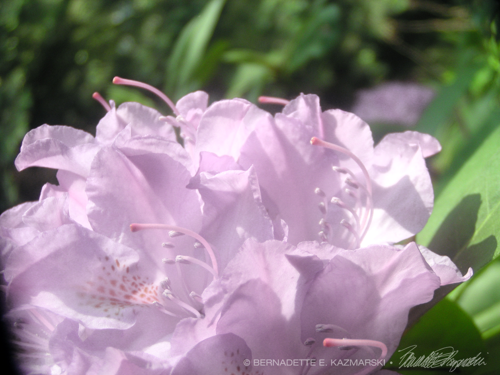 Pale pink rhododendron.